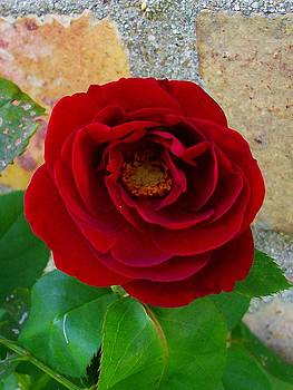 Rose Red by Sherry  Kepp