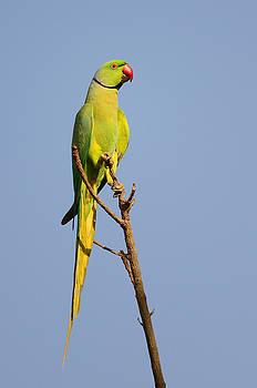 Rose ringed Parrot by Balram Panikkaserry