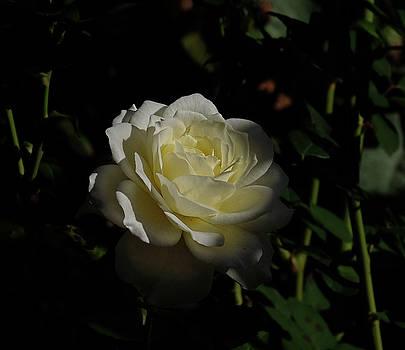 Rose shadow by Ronda Ryan