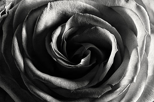 Jeremy Herman - Rose Study 1 in Black and White