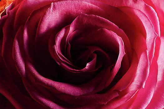 Jeremy Herman - Rose Study 1