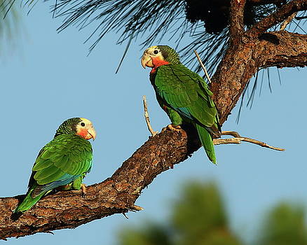Rose-throated Parrots by Bruce J Robinson