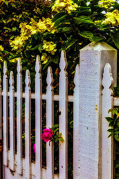 Rose Through Old Picket Fence by Garry Gay