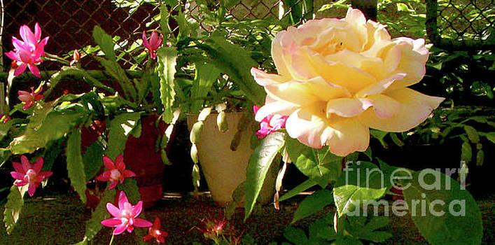 Rose by Ventsislav Iliev