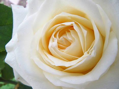 Rose X by Galina Todorova