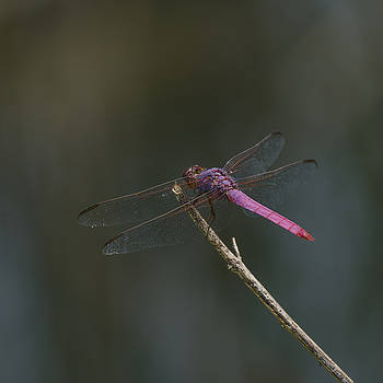 Roseate Skimmer by Billy Stovall