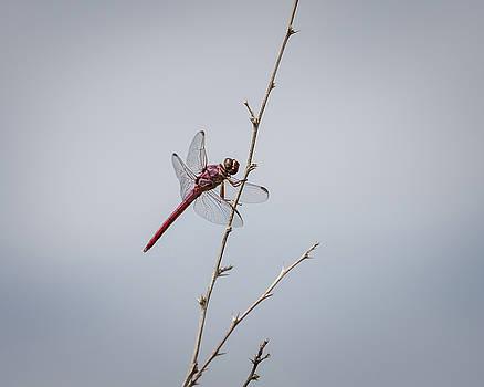 Rosemary Woods-Desert Rose Images - Roseate Skimmer Dragonfly-IMG_168418