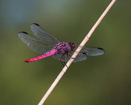 Rosemary Woods-Desert Rose Images - Roseate Skimmer Dragonfly-IMG_949916