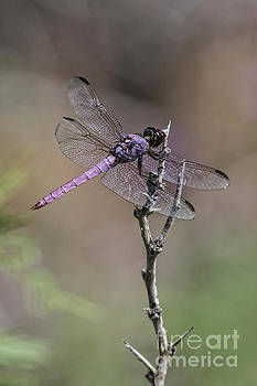 Tim Moore - Roseate Skimmer Dragonfly