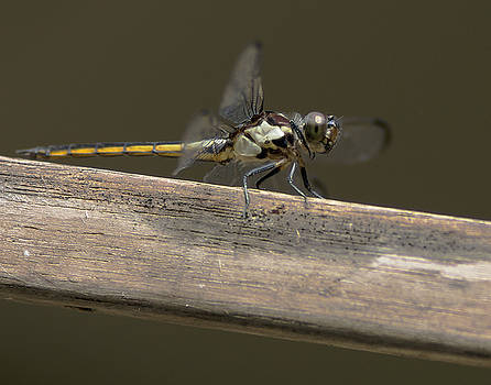 Roseate Skimmer  female 2 by Billy Stovall
