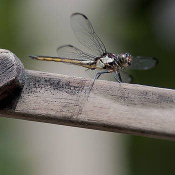 Roseate Skimmer  female by Billy Stovall
