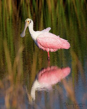 Roseate Spoonbill - 5371,S by Wally Hampton