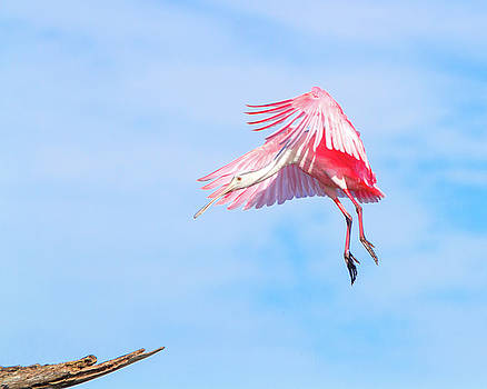 Roseate Spoonbill Final Approach by Mark Andrew Thomas