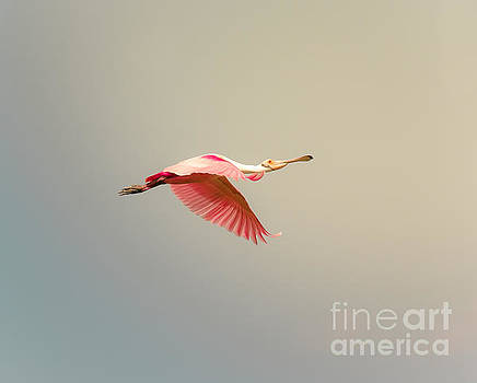 Roseate Spoonbill Flying by Robert Frederick