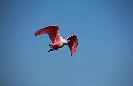 Roseate Spoonbill in Flight II by Michiale Schneider