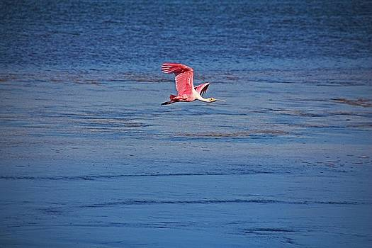 Roseate Spoonbill in Flight V by Michiale Schneider