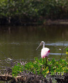Roseate Spoonbill by Natural Focal Point Photography