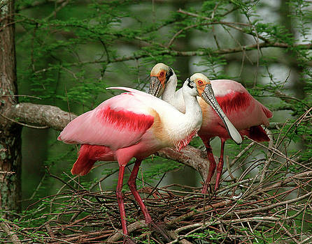 Roseate Spoonbills by Jim E Johnson