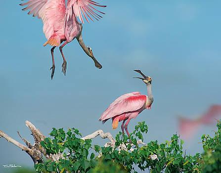 Roseate Spoonbills by Tim Fitzharris