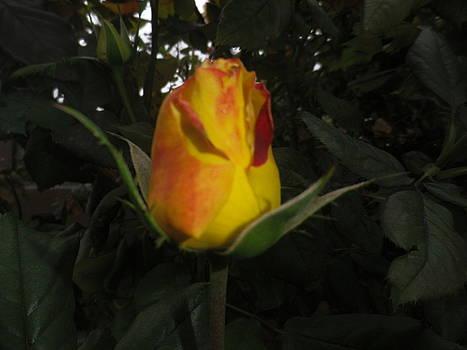 Rosebud #1 by Jonathan Barnes