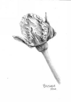 Rosebud by Brenda Hill