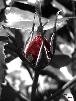Rasma Bertz - Rosebud Red