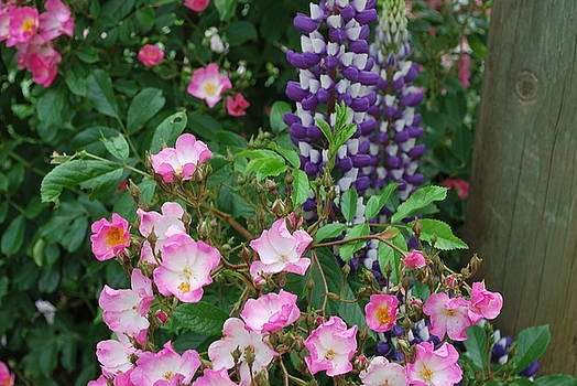 Roses and Lupines by Linda Sramek