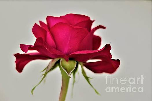 Roses Are Red by Tracey Lee Cassin