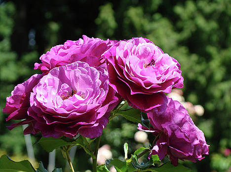 Baslee Troutman - ROSES Art Rose Garden Pink Purple Floral Prints Baslee Troutman