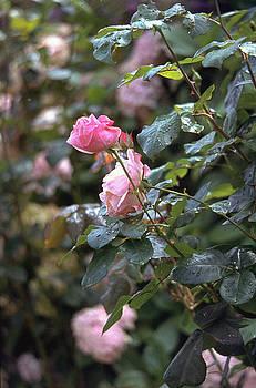 Flavia Westerwelle - Roses