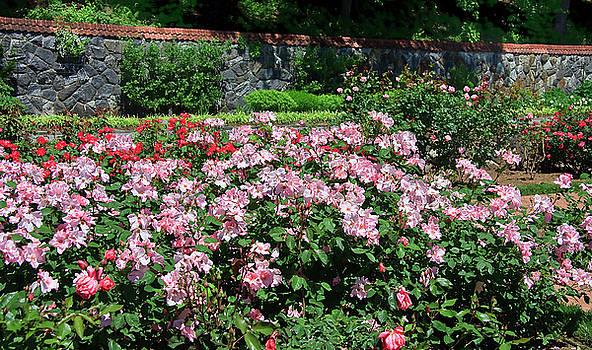 Jill Lang - Roses in a Garden