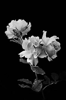 Roses in Black and White by David Lunde