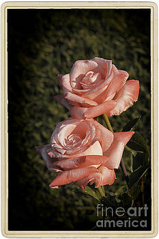 Roses in bloom by Stefano Senise