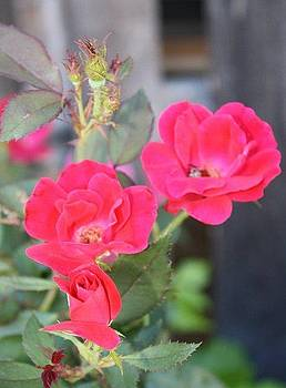 Roses by Kay Gilley