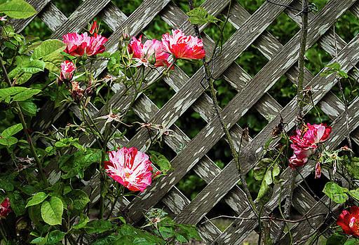 Roses on Lattice by Bonnie Follett