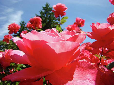 Baslee Troutman - Roses Pink Rose Landscape Summer Blue Sky Art Prints Baslee Troutman