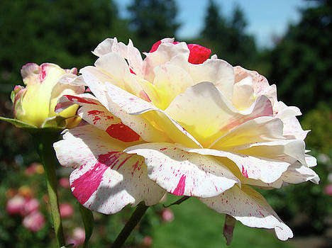Baslee Troutman - Roses White Pink Yellow Rose Flowers 3 Rose Garden Art Baslee Troutman