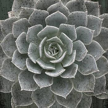Rosette Succulent Square Crop by Steve Gadomski