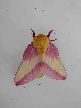 Rosy Maple Moth by Heather Sylvia