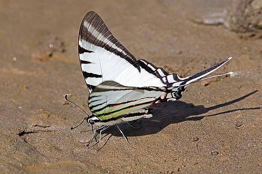 Aivar Mikko - Rothschild Swordtail Eating Minerals