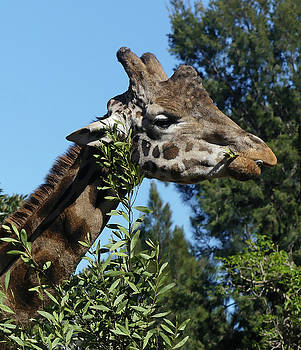 Rothschild's Giraffe Feeding by Margaret Saheed