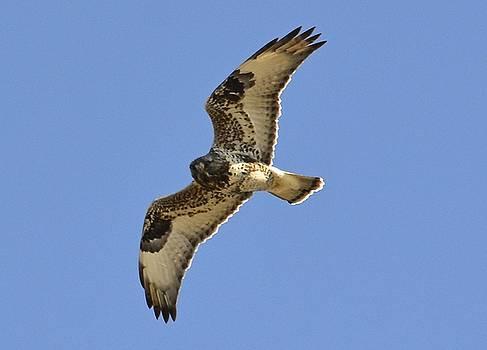 Rough-legged Hawk by Lorelei Galardi