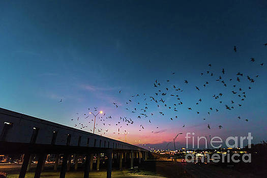 Herronstock Prints - Round Rock bats under Interstate 35 bridge take night flight