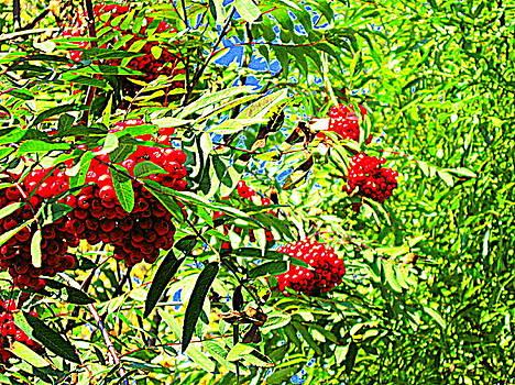 Pauli Hyvonen - Rowan berries