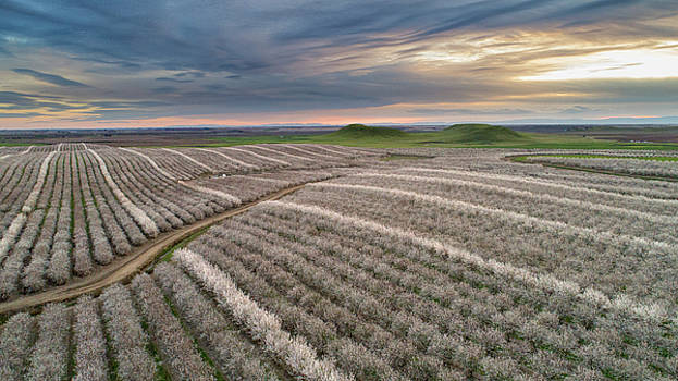 Rows of Almond Blossoms by Eric Bjerke Sr