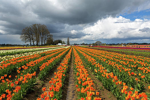Rows of Colorful Tulips at Festival by David Gn