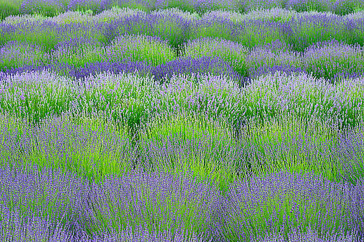 Rows Of Lavender by Hegde Photos