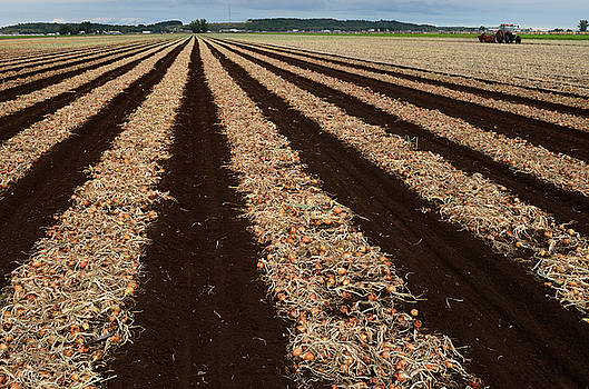 Reimar Gaertner - Rows of mature onions freshly pulled from the ground drying at a