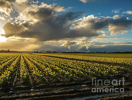Rows of Skagit Gold by Mike Reid