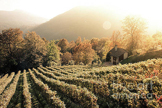Rows of vine in a vineyard in ticino, switzerland at sunset by Amanda Mohler